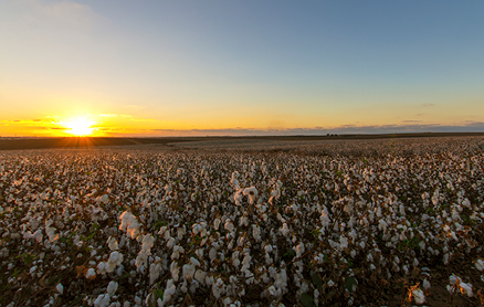 Cotton commodity price risks – haven't we seen this before?